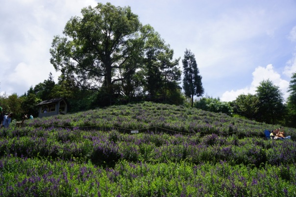 Rows and rows of lavender await at Lavender Cottage 薰衣草森林 in Taichung.