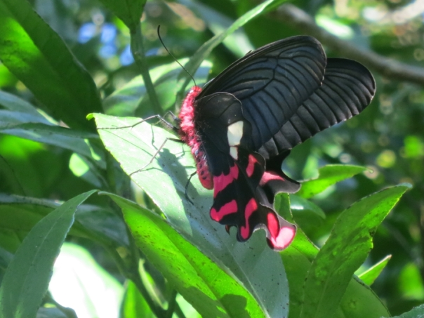A fuzzy red and black butterfly.