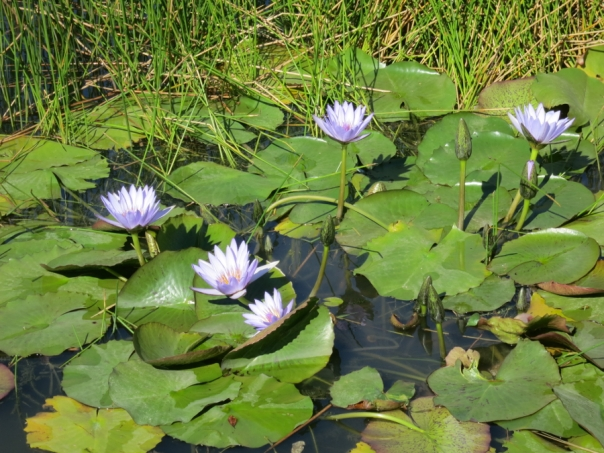 Always try to get a shot of lotus flowers whenever you can.