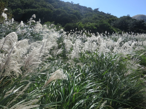 Visiting Yangmingshan in fall to see the silver grass is a must.